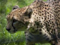 Primo piano del ghepardo che cammina attraverso l'erba Fotografie Stock Libere da Diritti
