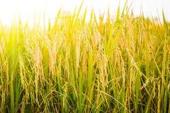Primo piano del giacimento del riso Fotografie Stock Libere da Diritti