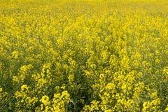 Primo piano del giacimento del seme di ravizzone Immagine Stock