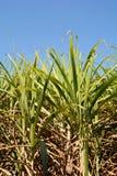 Primo piano del giacimento della canna da zucchero Fotografia Stock Libera da Diritti