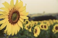 Primo piano del giacimento di fiori del sole Fotografia Stock
