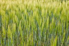 Primo piano del giacimento di grano Immagini Stock Libere da Diritti