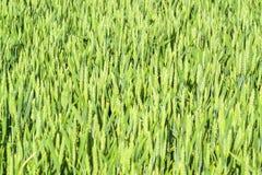 Primo piano del giacimento di grano Fotografia Stock