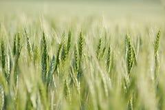 Primo piano del giacimento di grano Fotografie Stock