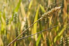 Primo piano del giacimento di grano Fotografia Stock Libera da Diritti
