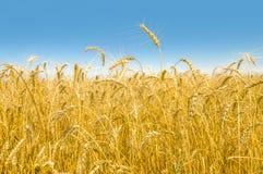Primo piano del giacimento di grano Fotografie Stock Libere da Diritti
