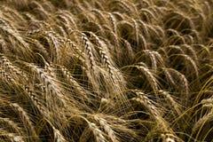 Primo piano del giacimento di grano Immagini Stock