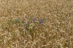 Primo piano del giacimento di grano a luglio Fotografie Stock