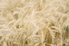 Primo piano del giacimento di grano, orecchie dei cereali in mezzogiorno caldo di estate Con il posto per il vostro testo, per us Fotografia Stock Libera da Diritti