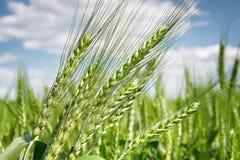 Primo piano del giacimento di grano in primavera, il bello paesaggio, erba verde e cielo blu con le nuvole Immagine Stock