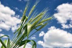 Primo piano del giacimento di grano in primavera, il bello paesaggio, erba verde e cielo blu con le nuvole Immagini Stock
