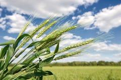 Primo piano del giacimento di grano in primavera, il bello paesaggio, erba verde e cielo blu con le nuvole Fotografia Stock Libera da Diritti