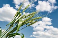 Primo piano del giacimento di grano in primavera, il bello paesaggio, erba verde e cielo blu con le nuvole Fotografia Stock