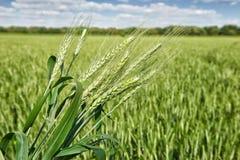 Primo piano del giacimento di grano in primavera, il bello paesaggio, erba verde e cielo blu con le nuvole Fotografie Stock