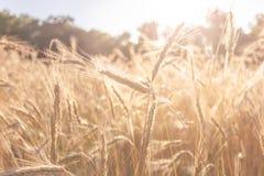 Primo piano del giacimento di grano in sole di estate di sera Fotografia Stock