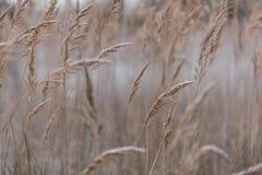 Primo piano del giacimento di grano sulla mattina in anticipo di autunno di freddo Immagine Stock