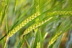 Primo piano del giacimento di grano verde per fondo Fotografia Stock Libera da Diritti