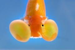 Primo piano del goldfish dell'occhio della bolla Fotografia Stock