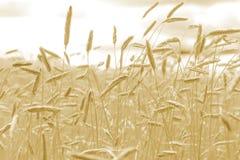 Primo piano del grano delle orecchie Campo di frumento Fotografia Stock