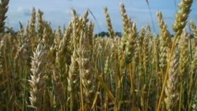 Primo piano del grano nel campo stock footage