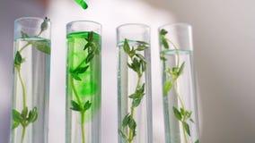 Primo piano del grano organico del tubo della donna del biochimico, lavoro genetico crescente del tester delle piante video d archivio