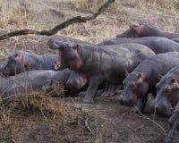 Primo piano del gregge degli ippopotami che contemplano che si schianta nel fiume da terra, una con la bocca spalancata fotografia stock libera da diritti