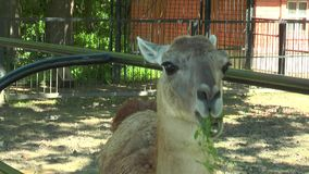 Primo piano del guanaco capo della lama stock footage