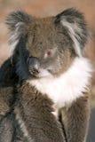 Primo piano del Koala fotografia stock