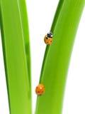 Primo piano del Ladybug delle gocce di rugiada sul foglio verde Fotografia Stock Libera da Diritti