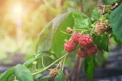 Primo piano del lampone maturo nel giardino della frutta fotografie stock