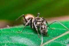 Primo piano del lavoratore maschio Weaver Ant dorato Fotografia Stock