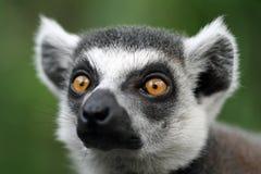 Primo piano del lemur Fotografia Stock