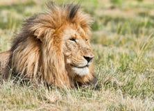 Primo piano del leone Immagini Stock