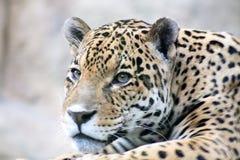 Primo piano del leopardo Fotografie Stock