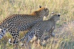 Primo piano del leopardo Immagine Stock Libera da Diritti