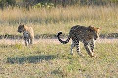 Primo piano del leopardo Fotografie Stock Libere da Diritti