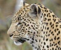 Primo piano del leopardo; Pardus del Panthera; La Sudafrica Fotografia Stock Libera da Diritti