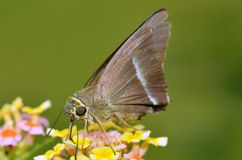 Primo piano del lepidottero Fotografie Stock Libere da Diritti