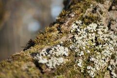 Primo piano del lichene e del muschio su un albero Immagine Stock