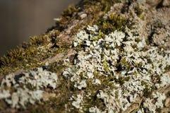 Primo piano del lichene e del muschio su un salice di crepa Immagini Stock Libere da Diritti