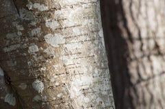 Primo piano del lichene su un ontano Fotografia Stock Libera da Diritti