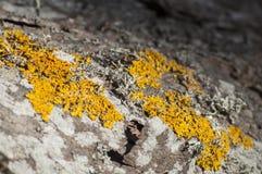 Primo piano del lichene su un ontano Immagine Stock Libera da Diritti