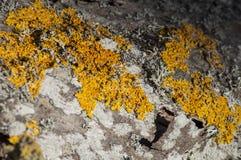 Primo piano del lichene su un ontano al sole Fotografie Stock