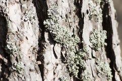 Primo piano del lichene su un pino al sole Fotografia Stock