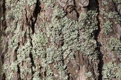 Primo piano del lichene su un pino al sole Fotografie Stock