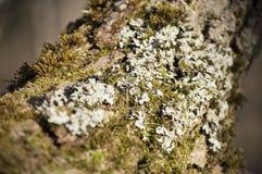Primo piano del lichene su un salice di crepa al sole Fotografia Stock
