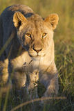 Primo piano del Lioness Fotografia Stock