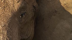 Primo piano del loxodonta africana dell'elefante africano, fuoco selettivo immagine stock libera da diritti