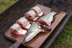 Primo piano del luccio del pesce fresco nelle fette delle parti affettate con knif Immagini Stock Libere da Diritti