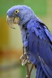 Primo piano del macaw del giacinto Fotografia Stock